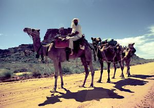 A cameleer leads a camel train along a dirt road in the outback.