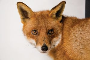 A close up of an alert European red fox with head facing camera.