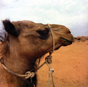 Close up of a camel with a rope halter round its head and neck.