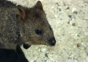 A close up colour portrait from above of a Quokka marsupial.
