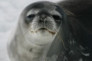 A close up, colour portrait of a Weddell Seal in Antarctica.