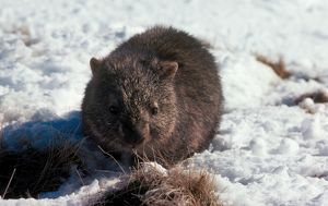 A colour image of a small, brown, bare-nosed wombat in the snow.
