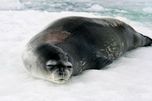 A colour image of a Weddell Seal basking in Antarctica.