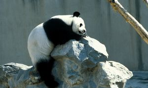 A giant panda suns itself on a pile of rocks in a zoo enclosure.