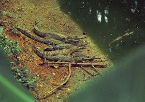 A group of freshwater crocodiles crowd together on a riverbank.