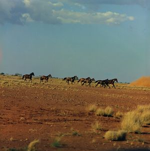 A herd of wild horses gallop across the stony, red soil terrain.