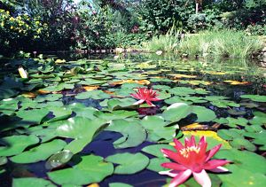Lilypad pond. Waterplants in Australia,1990