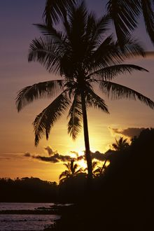 Palm tree at sunset. Solomon Islands, 1979.