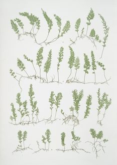 A. Hymenophyllum tunbridgense. B. H. unilaterale. The tunbridge film fern, Bradbury