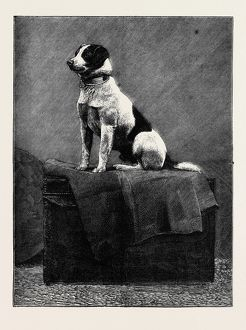 AN ADVENTUROUS DOG: 'RAILWAY JACK' (RECENTLY RUN OVER AND WOUNDED AT NORWOOD