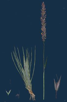 Agrostis setacea; Bristle-leaved Bent-grass