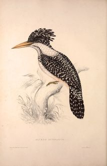 Alcedo Guttatus. Birds from the Himalaya Mountains, engraving 1831 by Elizabeth Gould