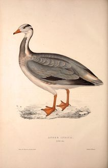 Anser Indica, Bar-headed Goose. Birds from the Himalaya Mountains, engraving 1831