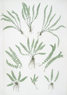 Asplenium viride. The green spleenwort, Bradbury, Henry Riley (1821-1887), (Illustrator)