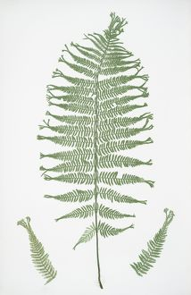 Athyrium Filix-foemina multifidum. The lady fern, Bradbury, Henry Riley (1821-1887)