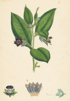 Atropa Belladonna; Deadly Nightshade