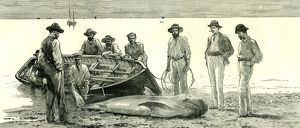 Caribbean Sea, 1885, Shark Fishing, Fish