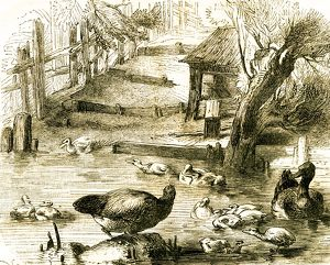 Ducks, 19th century