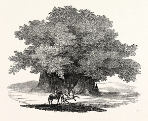 Great Chesnut Tree of Mount AEtna