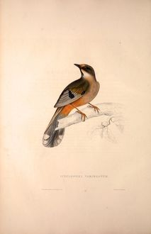 Cinclosoma Variegatum. Birds from the Himalaya Mountains, engraving 1831 by Elizabeth