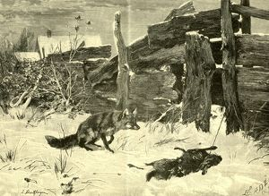 Fox, Hunt, Austria, 1891