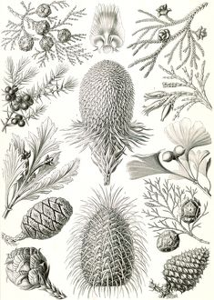 Illustration shows conifers. Coniferae. - Bapfenbaume, 1 print : photomechanical
