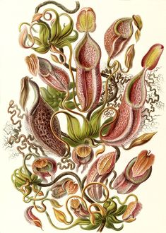 Illustration shows pitcher plants. Nepenthaceae