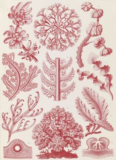 Illustration shows red algae. Florideae. - Rotalgen, 1 print : color photomechanical