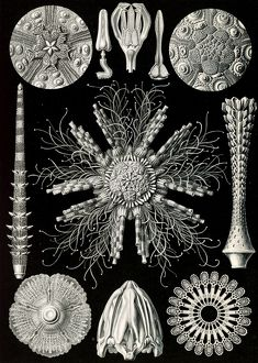 Illustration shows sea urchins and sand dollars. Echinidea. - Igelsterne, 1 print