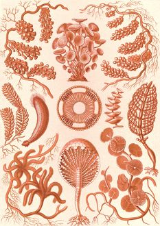Illustration shows seaweed. Siphoneae. - Riesen-Algetten, 1 print : color lithograph