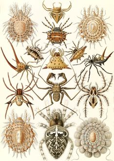 Illustration shows spiders. Arachnida. - Spinnentiere, 1 print : color lithograph