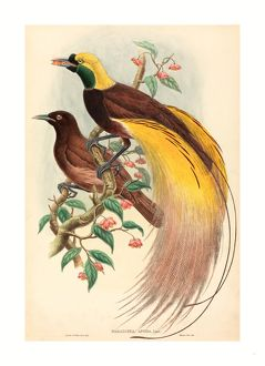 John Gould and W. Hart (British, 1804 - 1881 ), Bird of Paradise (Paradisea apoda)