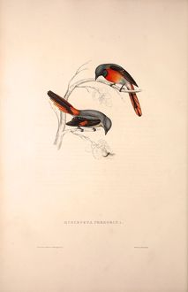 Muscepeta Peregrina. Birds from the Himalaya Mountains, engraving 1831 by Elizabeth Gould