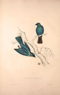 Muscicapa Melanops. Birds from the Himalaya Mountains, engraving 1831 by Elizabeth Gould