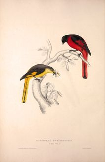 Muscipeta Brevirostris. Birds from the Himalaya Mountains, engraving 1831 by Elizabeth