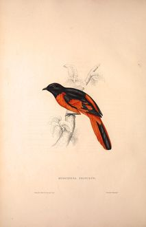 Muscipeta Princeps. Birds from the Himalaya Mountains, engraving 1831 by Elizabeth Gould