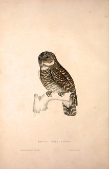 Noctua Cuculoides. Birds from the Himalaya Mountains, engraving 1831 by Elizabeth Gould