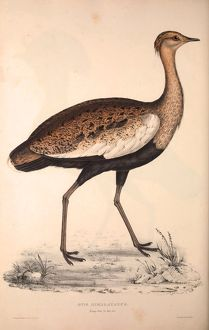 Otis Himalayanus (young male) or Delicious Bustard, Otis deliciosa
