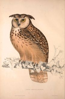 Otus Bengalensis, Owls. Birds from the Himalaya Mountains, engraving 1831 by Elizabeth
