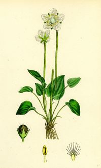 Parnassia palustris; Grass-of-Parnassus