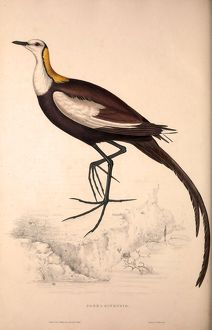 Parra Sinensis, Pheasant-Tailed Jacana.A jacana in the monotypic genus Hydrophasianus