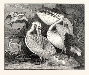 Pelicans, from Specimens in the Gardens of the Zoological Society