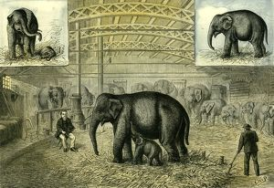 Philadelphia; U.S.A.; 1880; baby elephant; the first elephant born in captivity