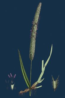 Phleum pratense; Common Timothy-grass