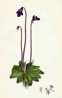 Pinguicula vulgaris; Common Butterwort