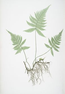 Polypodium Phegopteris. The mountain polypody, or Beech fern, Bradbury, Henry Riley