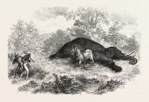 SKETCHES OF SOUTH AFRICAN TRAVEL: THE LION AND DEAD ELEPHANT