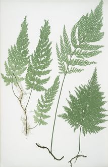 Trichomanes radicans. The European bristle fern, Bradbury, Henry Riley (1821-1887)