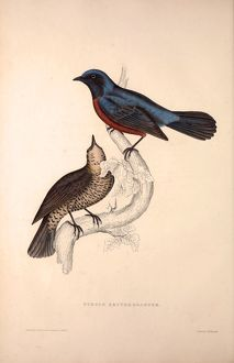 Turdus Erythrogaster. Birds from the Himalaya Mountains, engraving 1831 by Elizabeth
