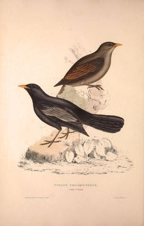 Turdus Poecilopterus, Aztec Thrush. Birds from the Himalaya Mountains, engraving